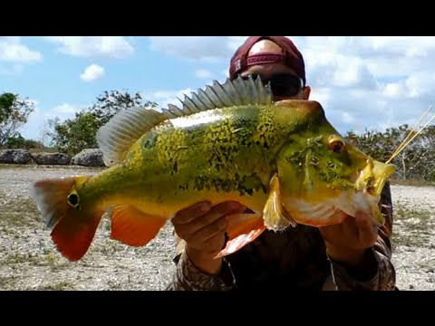 BIG PEACOCK BASS Fishing FLORIDA
