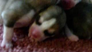 Siberian Husky Puppies For Sale..