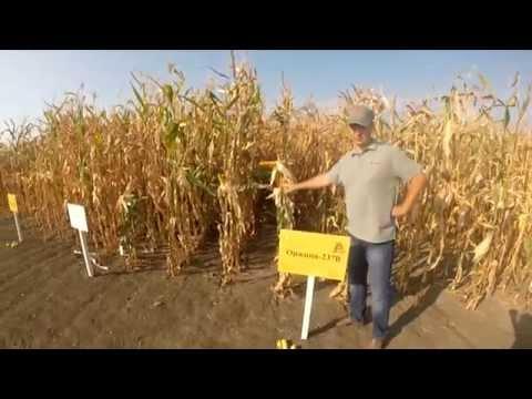 Гібрид кукурудзи - Оржиця  237МВ, характеристика.