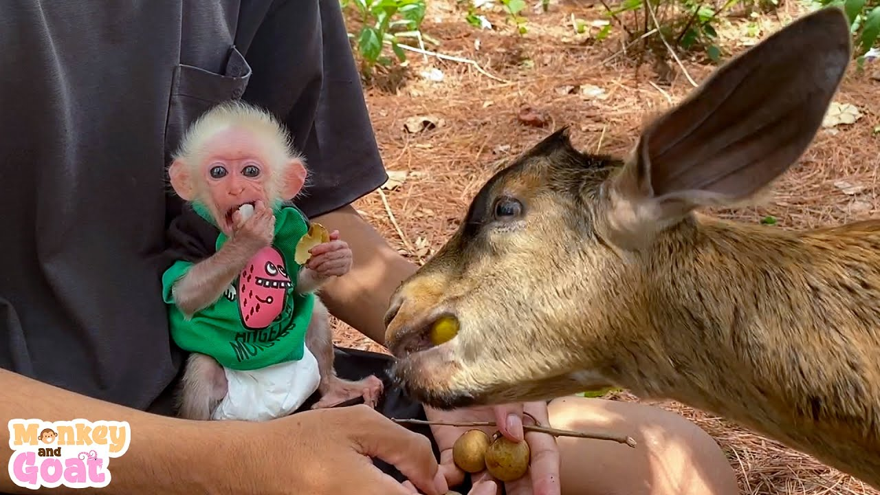 Can goat and baby monkey make friends?