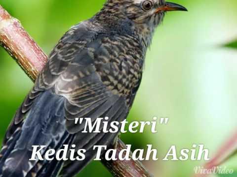 Misteri Burung Kedasih