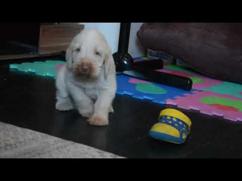 "Spinone Italiano ""s"" litter in Theogonia Black - 4 weeks old"