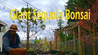 From Nursery Stock To Bonsai Giant Sequoia Bonsai 2020