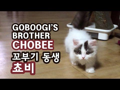 꼬부기 동생 쵸비의 첫날 - 아기 고양이 GoBooGi & ChoBee Munchkin Cat 短足猫