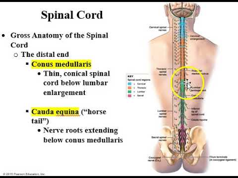 The Spinal Cord Part 1 Youtube