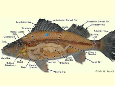 Perch Anatomy
