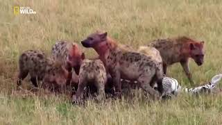 Хищники Африки Один в поле не воин