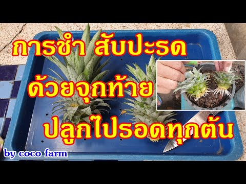 """การปลูกสับปะรดด้วยจุก กินลูกเสร็จอย่าโยนจุกทิ้ง เอามาชำไว้ปลูกดีงามครับ """"Pineapple cultivation"""""""