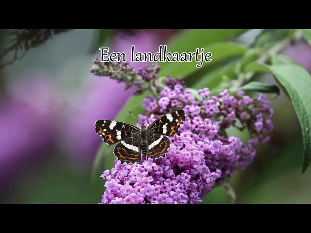 1 minuut natuur: Vlinders op de vlinderstruik