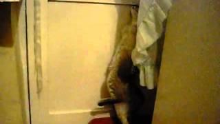 Кот как человек ходит в туалет стоя