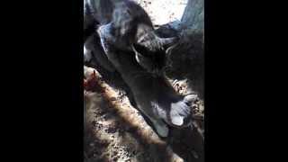 Кот уламывает кошку на секс