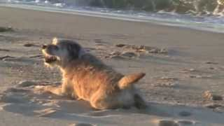 Border Terriers By The Sea