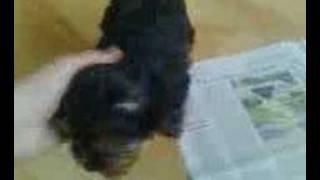 Re: Happy Feet Rosie Yorkshire Terrier Puppy
