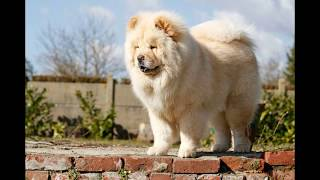 Чау-чау (Chow Chow) - порода собак
