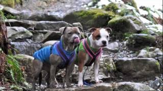 Sadie & Violet 2011 (staffordshire Bull Terriers)