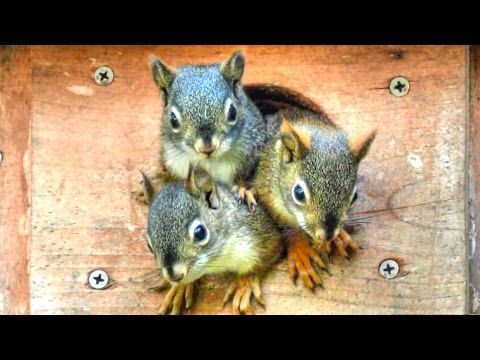 Cute Baby Gray Squirrels in Woodpecker Nest Box!