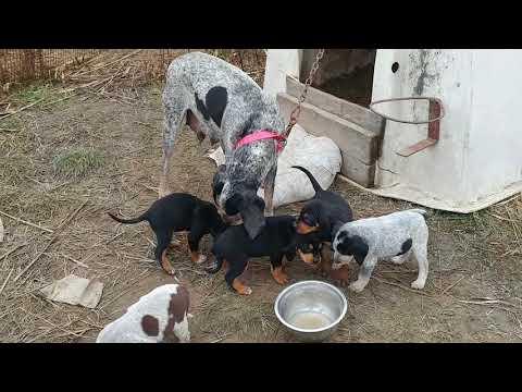 Indigo Coonhound puppies - Bluetick x Black and tan