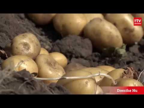 Krieltjes in plaats van aardappels door droogte