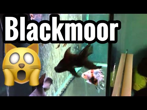 Black Moor Goldfish Care (Aquarium Guide)