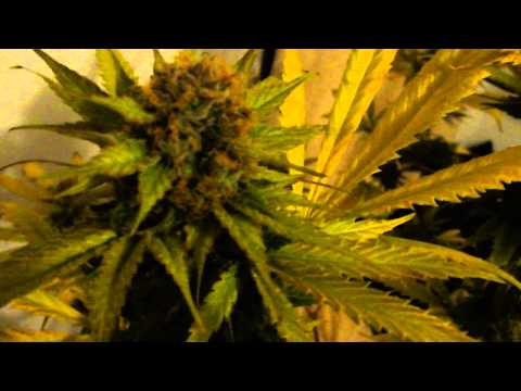 FIRST HARVEST VID OF 2013 (TGA'S CHEESEQUAKE)
