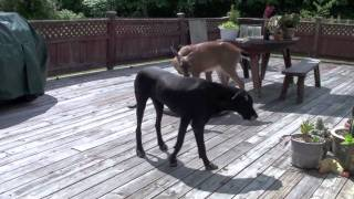 DOG AND DEER, STILL IN LOVE.....