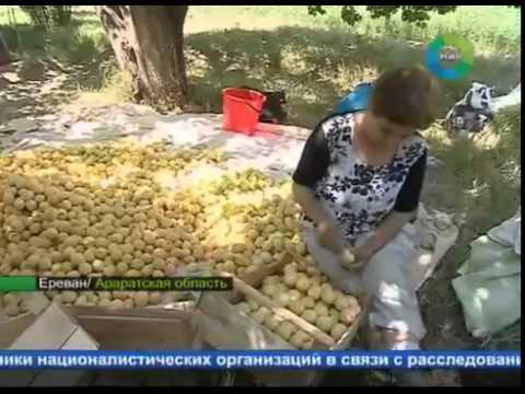 Польза абрикосов для здоровья, сбор абрикосов