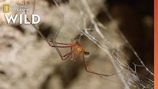 Spider Mating Turned Deadly | Mystery of the Giant Cave Spider