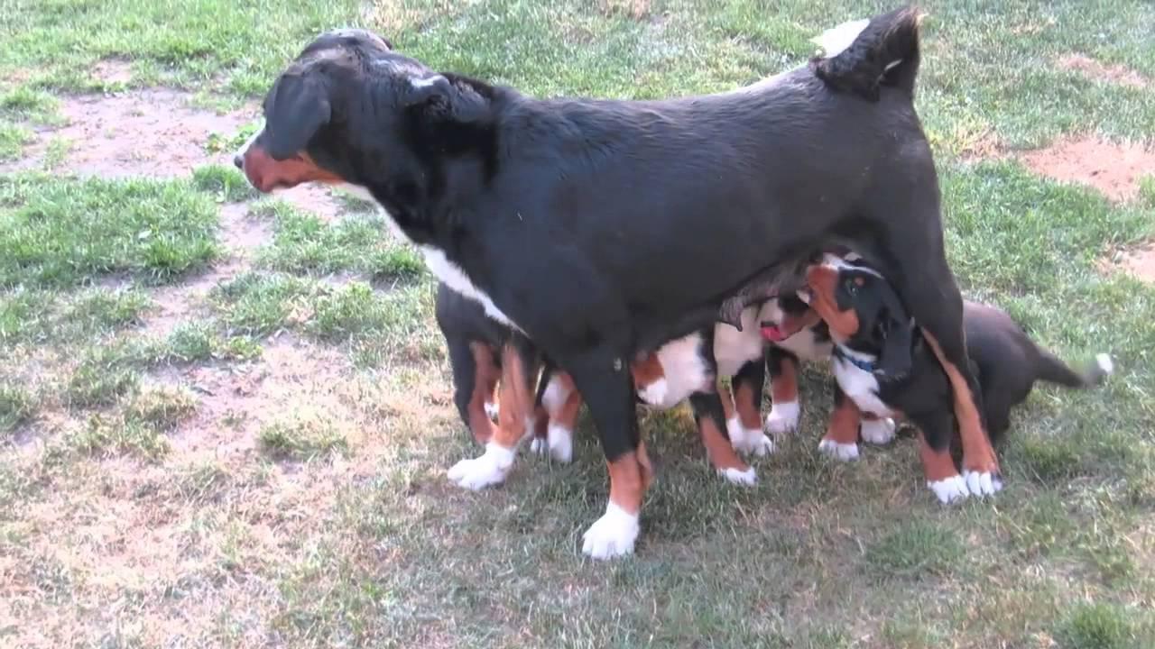 ee4395d73e9 Appenzellský salašnický pes - štěňata 6. týdnů - YouTube