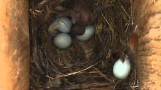 Spring Alive: Cuckoo chick in the nest of Common Redstart