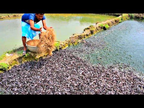 Million Catfish Eating Pellet Feed In Pond | Usaha Budidaya Lele | Catfish Farming