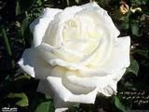 تفسير حلم رؤية الورد الابيض او الاحمر او الاصفر و قطف الزهور في