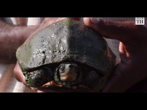 This temple in Assam helps nurture 'extinct' turtle back to life