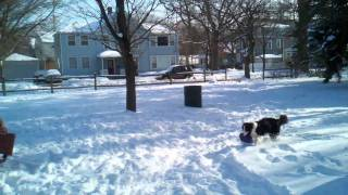 Adorable Border Collie Puppy Plays in Snow