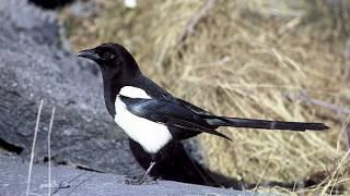 Голоса птиц Как поёт Сорока обыкновенная Pica pica