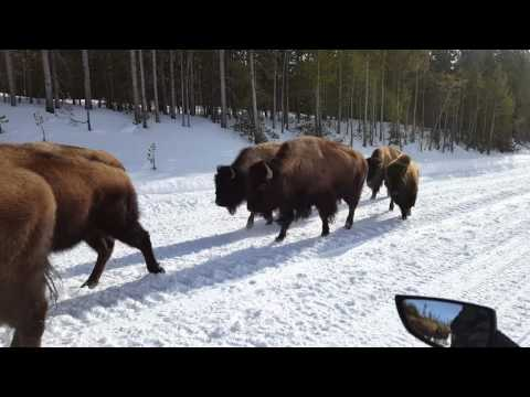 Yellowstone Winter Bison Encounter
