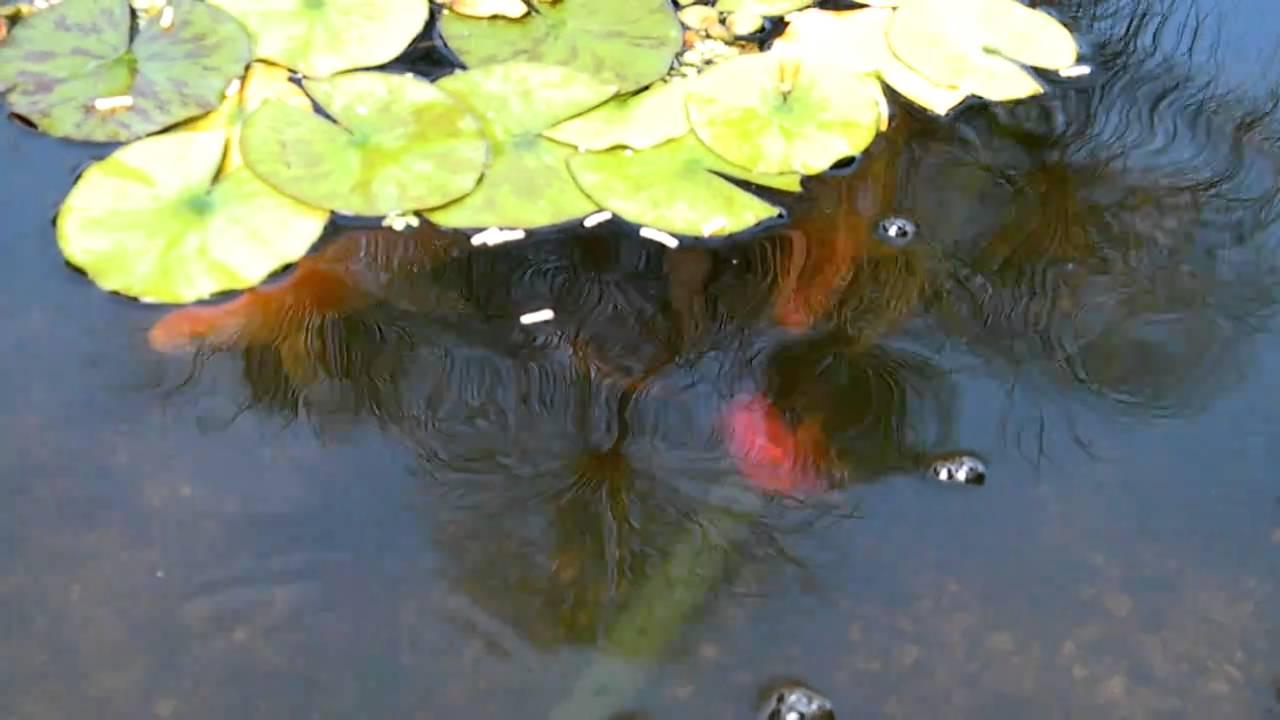 Peces de agua fria en pileta youtube for Piletas para peces