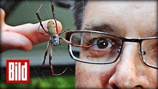 Professor melkt Spinnen - Forschung über Seide