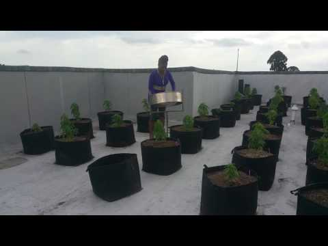 Day 55 - Growing Cannabis and Mozart on Steelpan