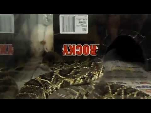 eastern diamondback rattlesnake brutaly  kills big white rat