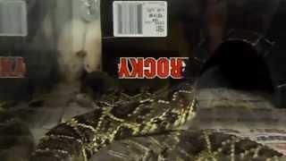 eastern diamondback rattlesnake brutaly  kills big white rat