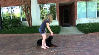 Harley Rottweiler Obedience Training