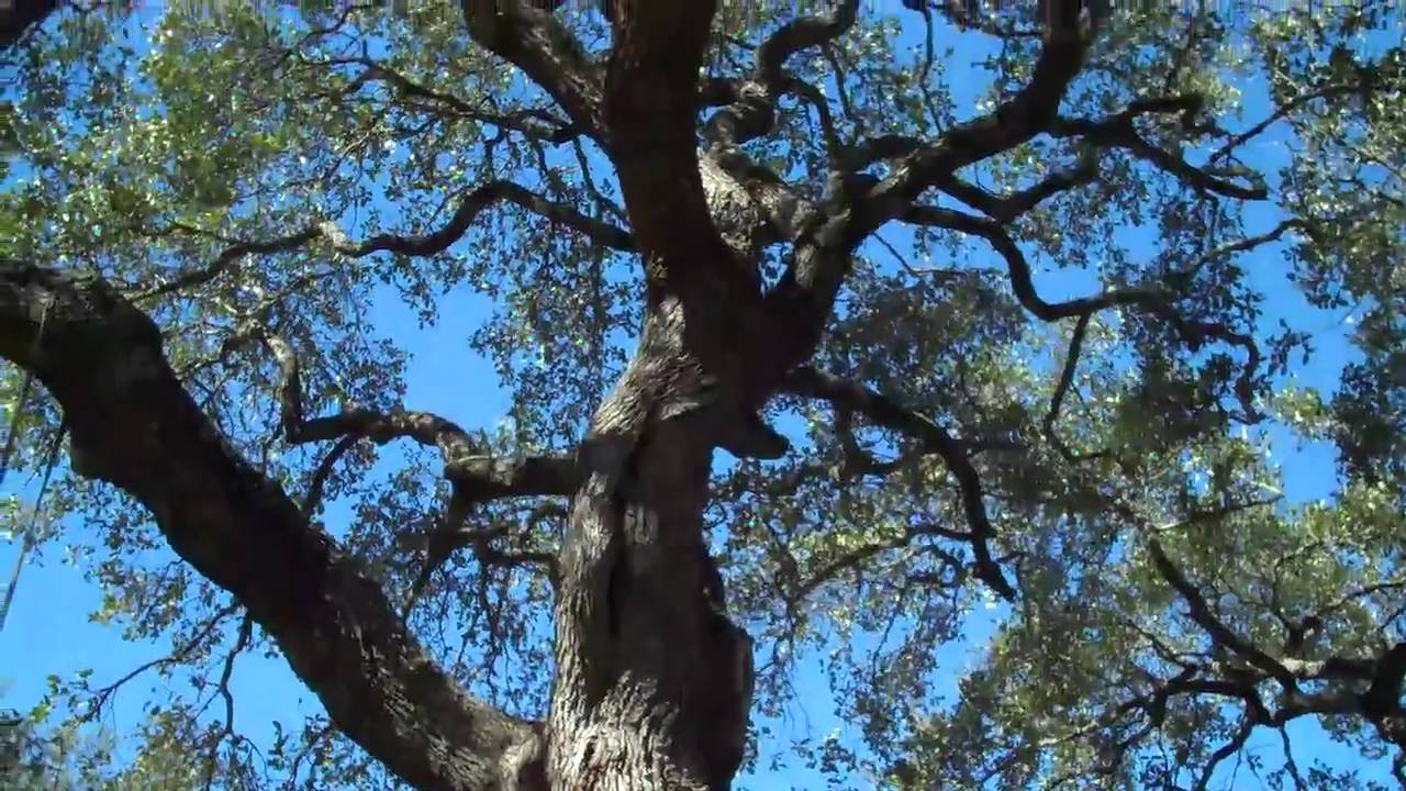 Arborist Austin, Texas - http://www.AustinTreeSurgeons.com ...