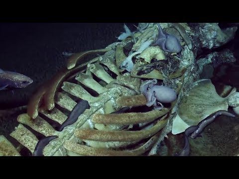 DEEP-SEA FOOTAGE: Scavenging Marine Life Devour Baleen Whale Remains | Oceana
