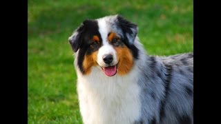 Порода собак. Атлаская овчарка(Аиди).Красивая собака.Сторожевая