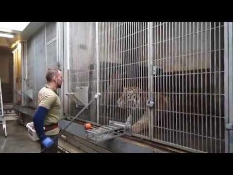 Tigertræning | Copenhagen Zoo