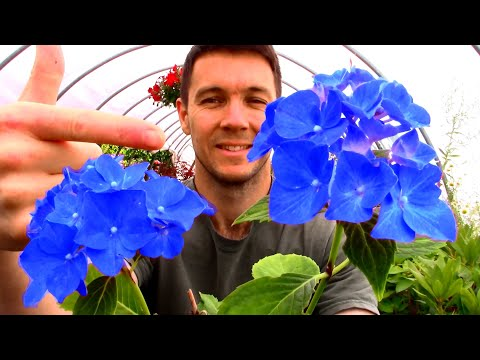 How To Change The Color Of Hydrangea Flowers   Hydrangea Colors Due To Soil Ph And Epsom Salt