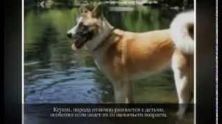 Средние породы собак АМЕРИКАНСКАЯ АКИТА