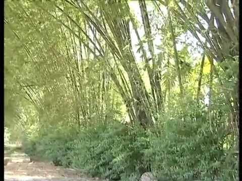 Tre Xanh Hồn Quê Việt  [Du Lịch Văn Hóa Việt Nam]