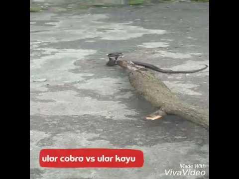 ular paling berbisa (caruban)