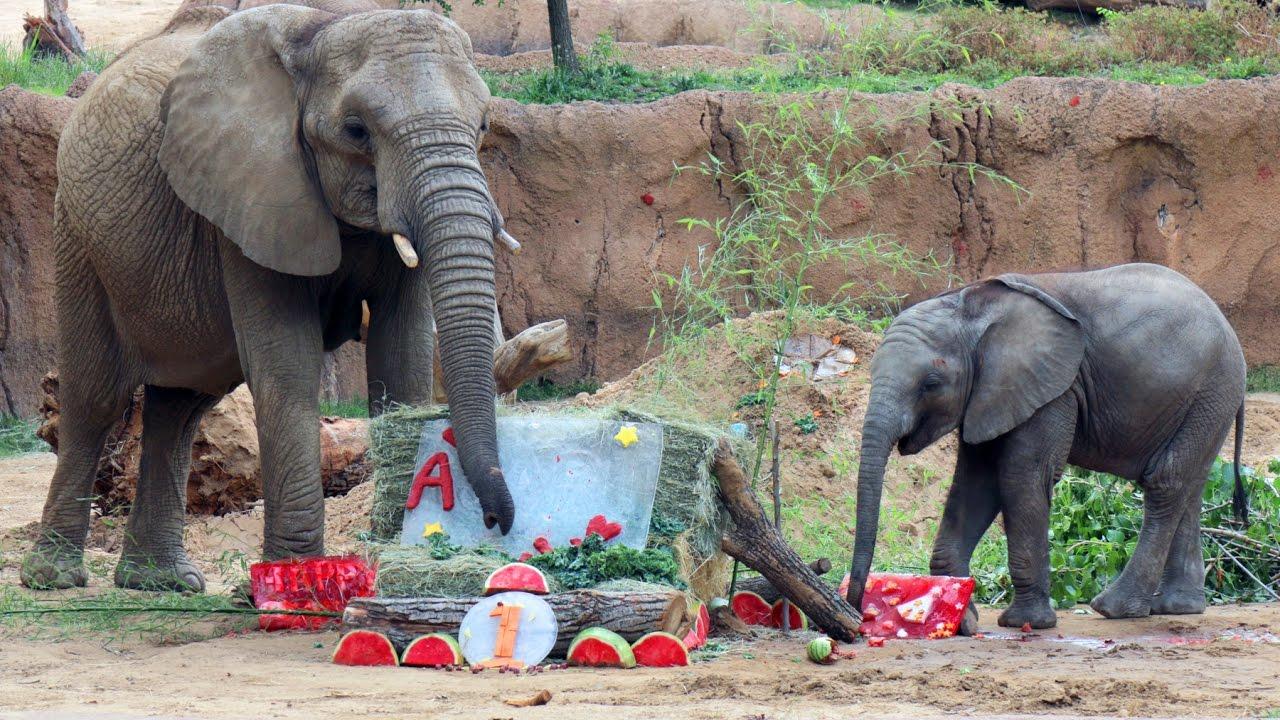 Baby Elephant Celebrates First Birthday - YouTube